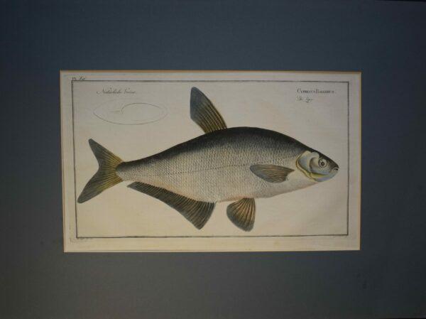 Cyprinus Ballerus, 1700 luku-kala