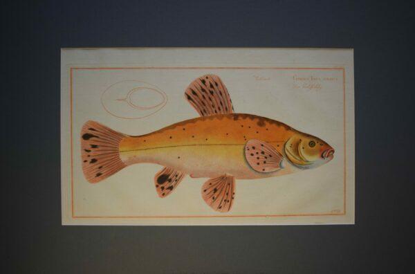 Cyprinus Tinca Auratus, 1700 luku-kala
