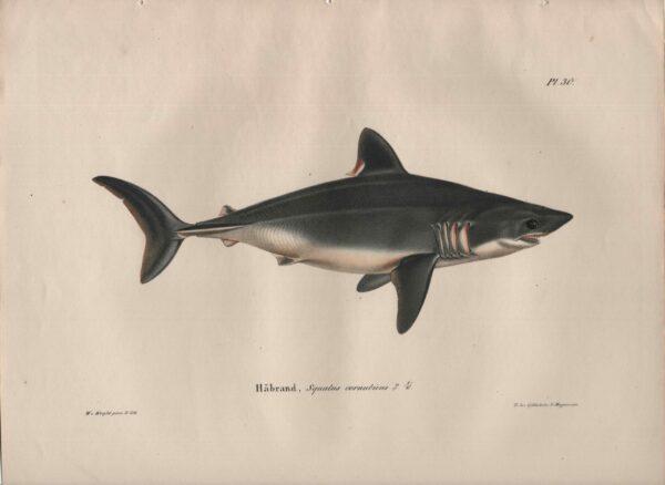 Wilhelm von Wright Håbrand, Squalus cornubicus. Sillihai