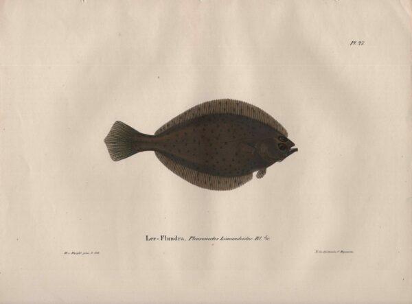 Wilhelm von Wright Ler-Flundra, Pleuronectus Limandoides