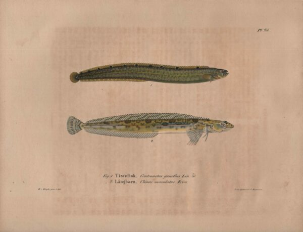 Tistefisk, Långbarn, von Wright